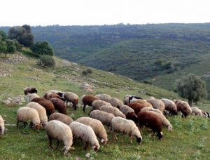 Ancient Israel livestock